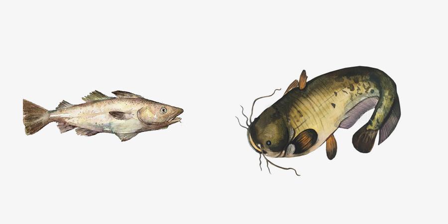 鳕鱼   鲶鱼